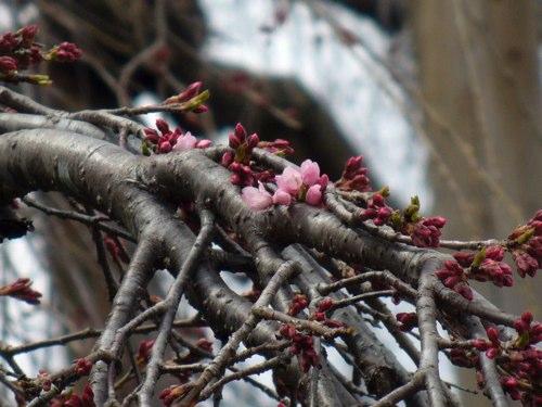 【日刊ぺんち】#004 三春滝桜が咲いたよ!