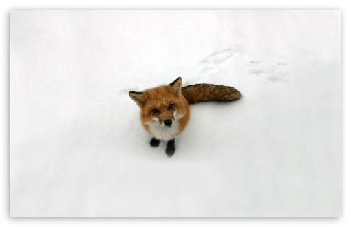funny_fox-t2